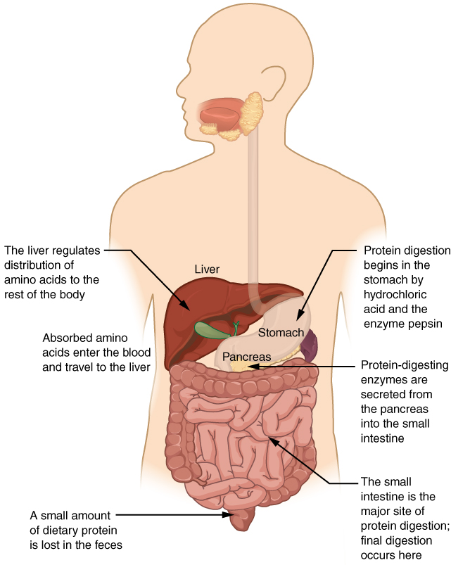 Difference Between Protein Digestion in Stomach and Small Intestine