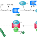 Difference Between Ubiquitination and SUMOylation