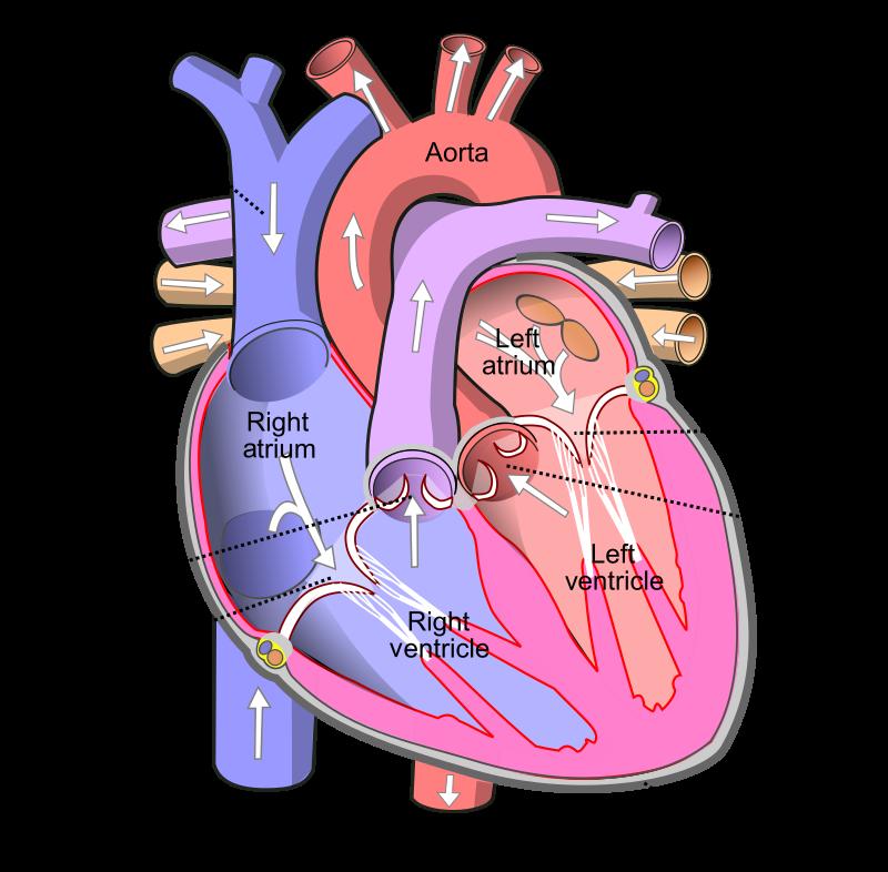 Key Difference - Aorta vs Pulmonary Artery