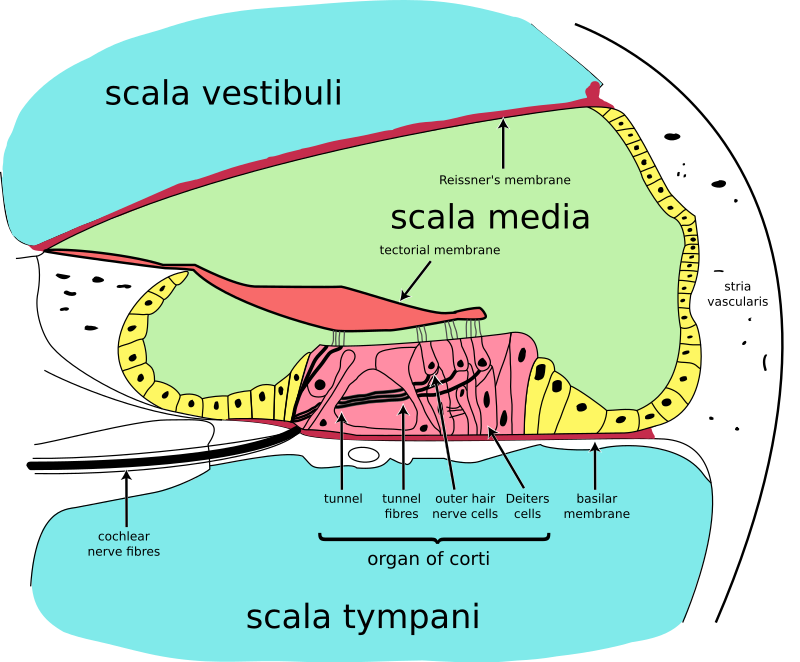 Difference Between Basilar and Tectorial Membrane