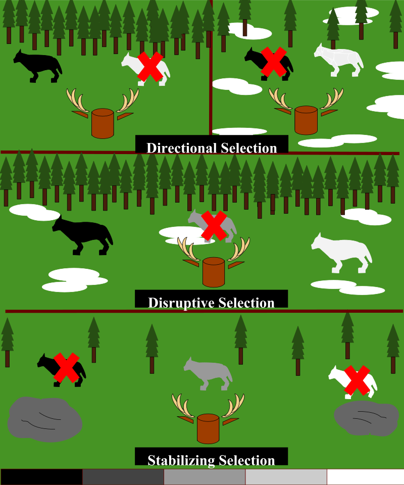 Difference Between Disruptive Selection and Stabilizing Selection