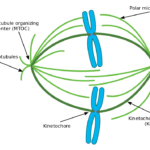 Difference Between Kinetochore and Nonkinetochore Microtubules