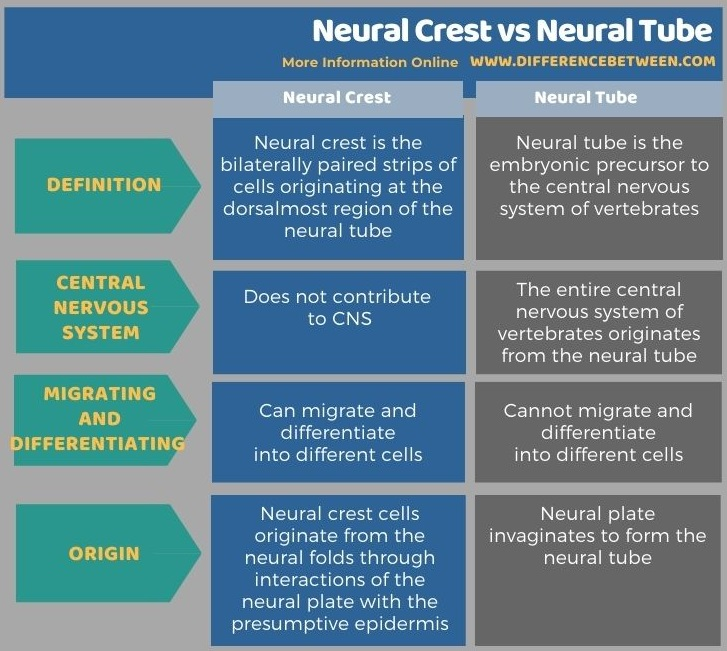 Difference Between Neural Crest and Neural Tube in Tabular Form