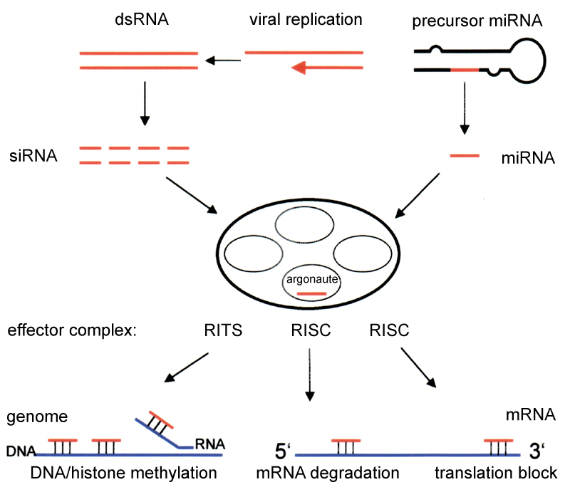 Difference Between Transcriptional and Posttranscriptional Gene Silencing