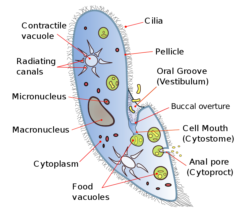 Key Difference - Volvox vs Paramecium vs Euglena