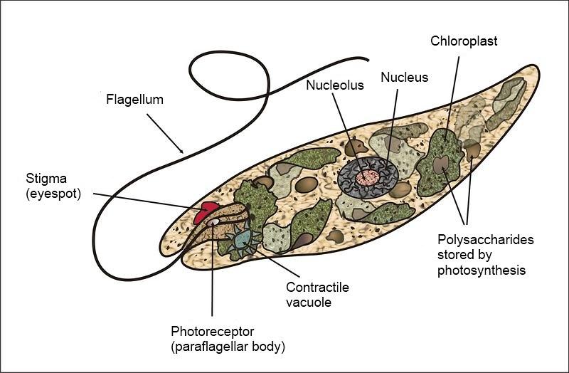 Volvox vs Paramecium vs Euglena