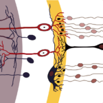 Difference Between Bipolar Cells and Ganglion Cells