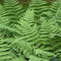 Difference Between Bryophytes and Seedless Vascular Plants