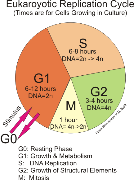 Difference Between G1 G2 and S Phase