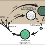 Difference Between Gametic Sporic and Zygotic Meiosis