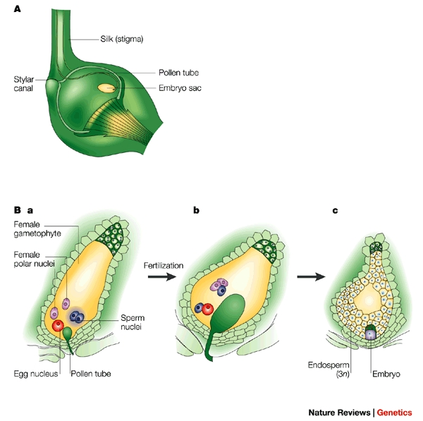 Key Difference - Generative Nucleus vs Pollen Tube Nucleus