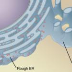Difference Between Granular and Agranular Endoplasmic Reticulum