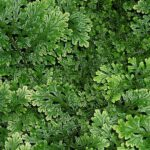Difference Between Lycopodium and Selaginella