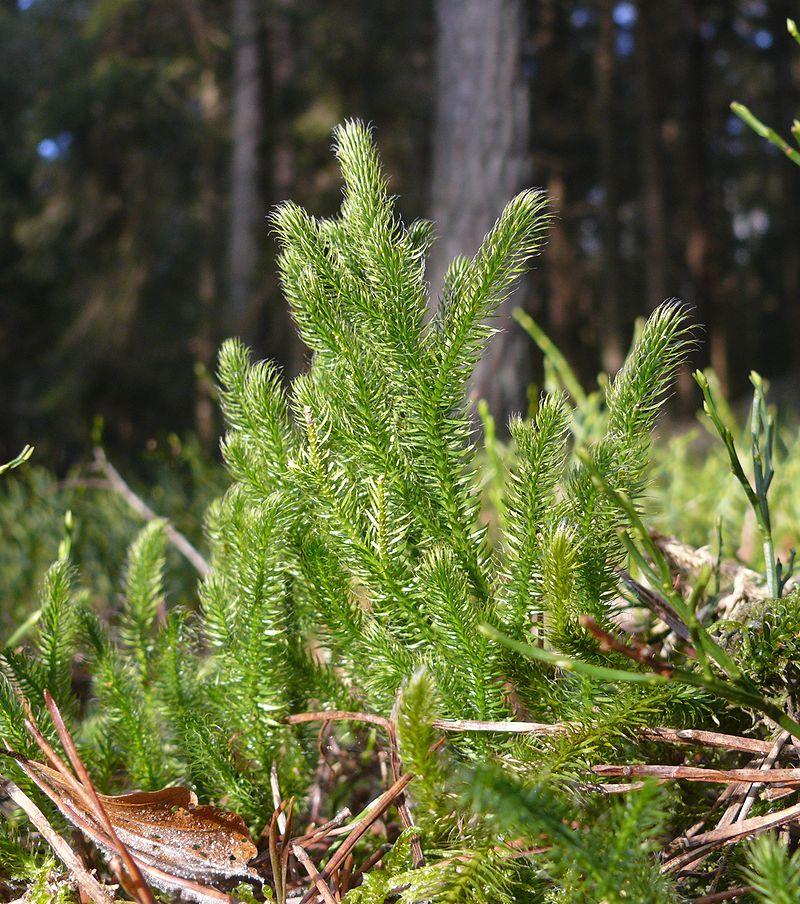 Key Difference - Lycopodium vs Selaginella