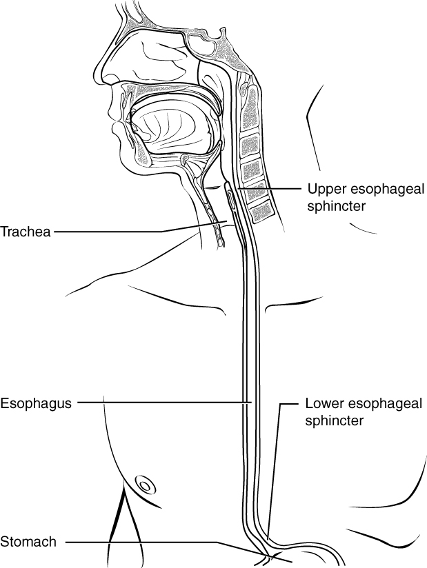 Key Difference - Muscularis Layer of Esophagus vs Stomach
