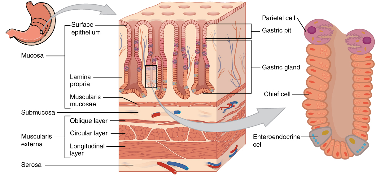 Difference Between Muscularis Layer of Esophagus and Stomach