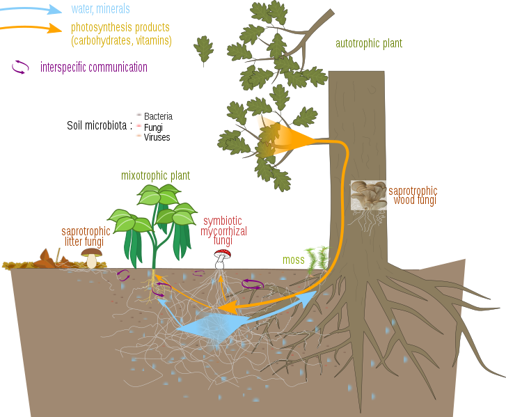 Difference Between Mycorrhiza and Coralloid Roots