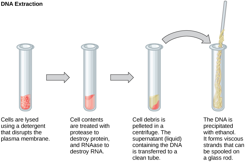 Difference Between Plant and Animal DNA Extraction