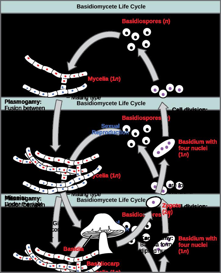 Key Difference - Primary vs Secondary Mycelium