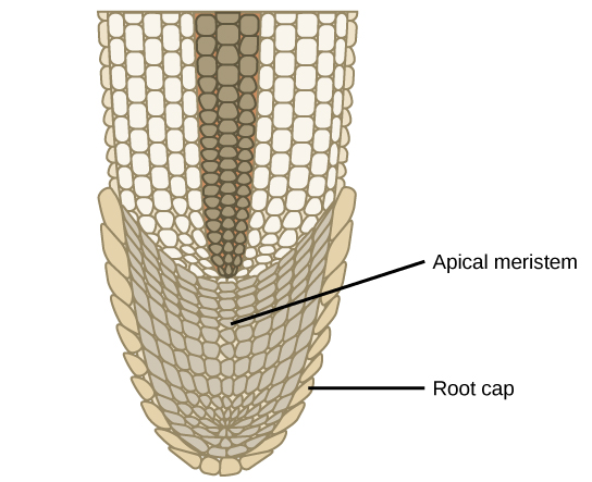 Difference Between Root and Shoot Apical Meristem