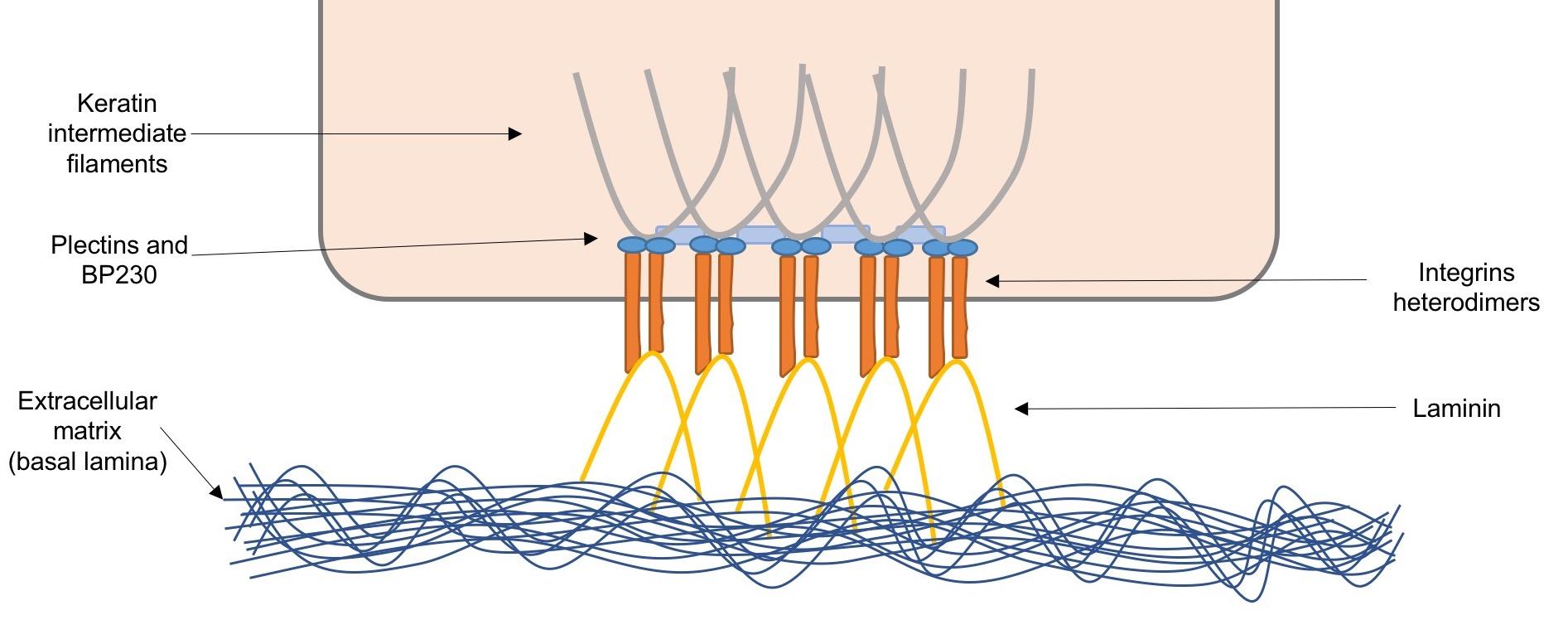 Key Difference - Tonofibrils vs Tonofilaments