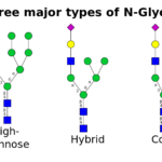 Difference Between N Glycosylation and O Glycosylation