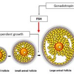 Difference Between Primary Secondary and Tertiary Follicle