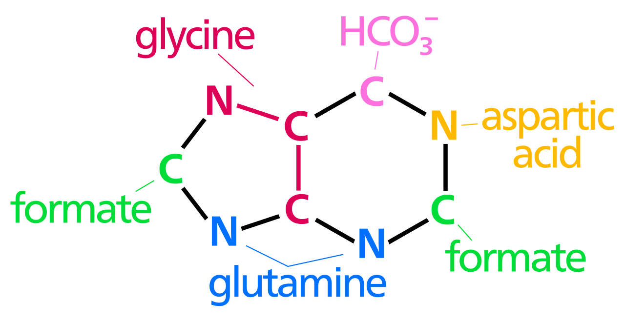 Difference Between Purine and Pyrimidine Synthesis
