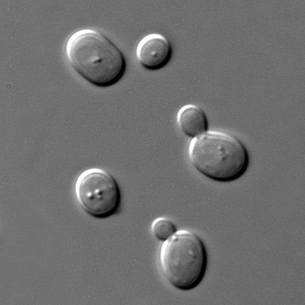 Key Difference - Saccharomyces cerevisiae vs Schizosaccharomyces pombe