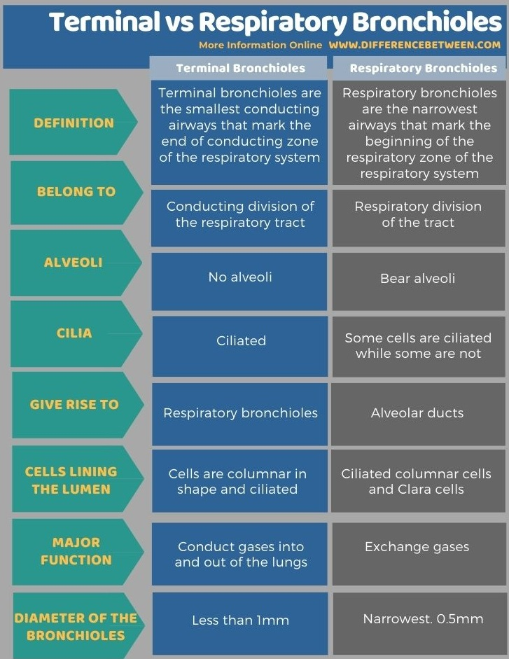 Difference Between Terminal and Respiratory Bronchioles in Tabular Form