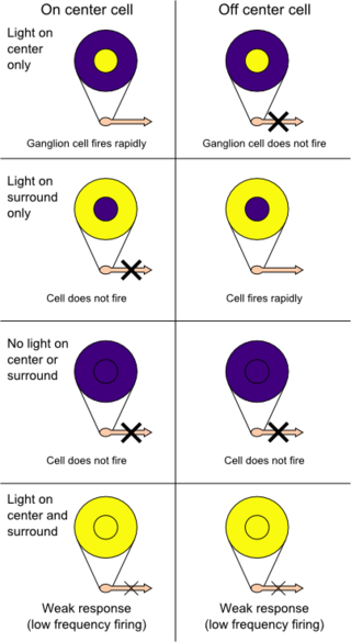 Difference Between X and Y Ganglion Cell Receptive Fields