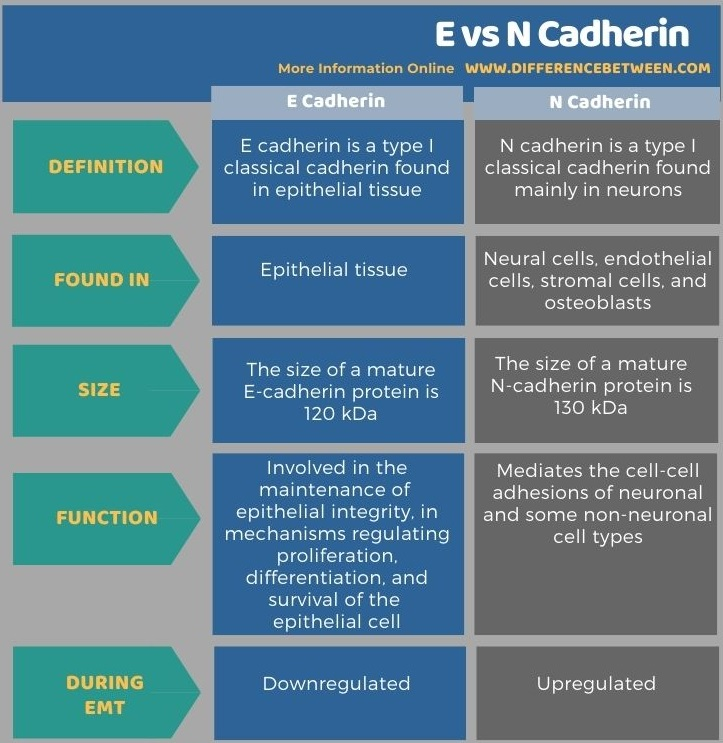Difference Between E and N Cadherin in Tabular Form
