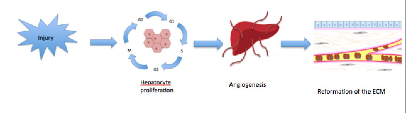 Key Difference - Regeneration vs Fibrosis