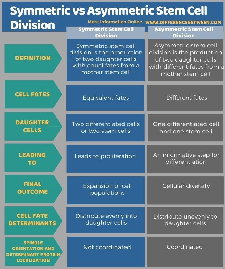 Difference Between Symmetric and Asymmetric Stem Cell Division in Tabular Form