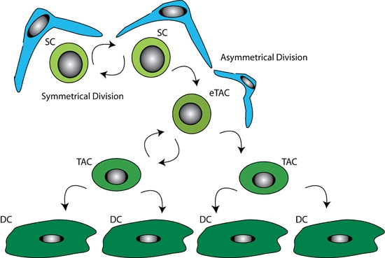 Difference Between Symmetric and Asymmetric Stem Cell Division