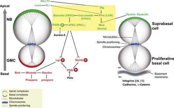 Key Difference - Symmetric vs Asymmetric Stem Cell Division