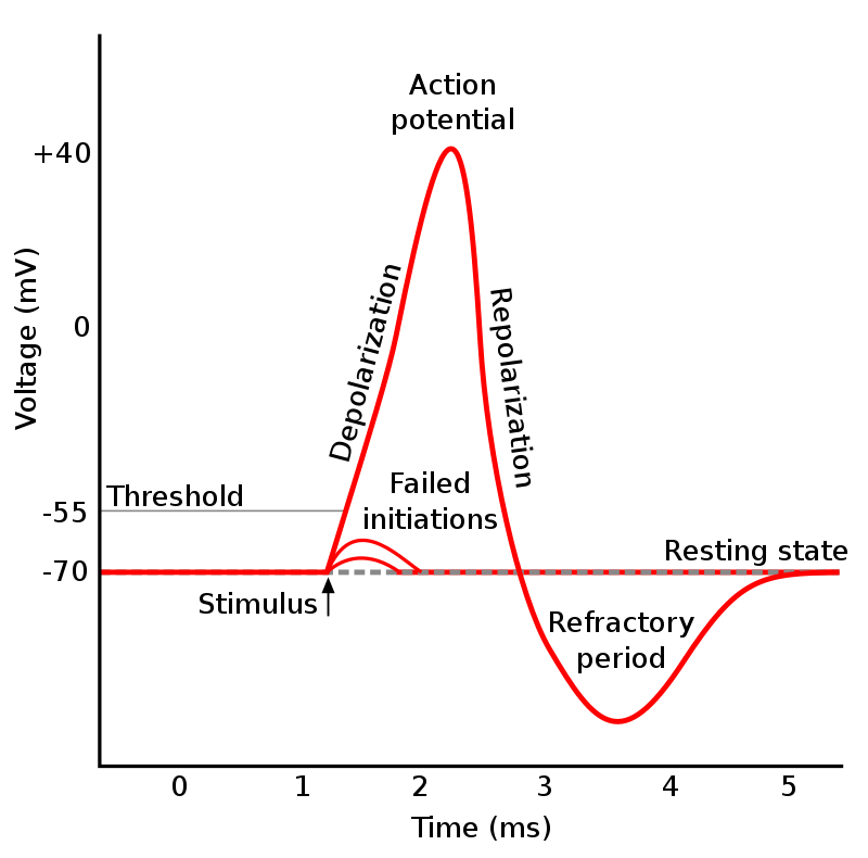 Difference Between Action Potential and Synaptic Potential