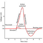Difference Between Depolarization and Hyperpolarization