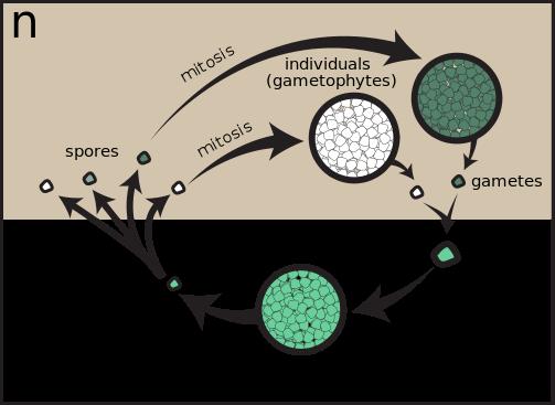 Key Difference - Homospory vs Heterospory