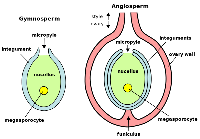 Key Difference - Nucellus vs Tapetum