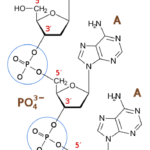 Difference Between Phosphodiester Bond and Phosphoester Bond