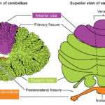 Difference Between Brainstem and Cerebellum