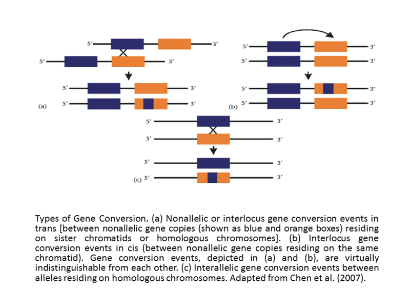 Difference Between Gene Conversion and Crossover