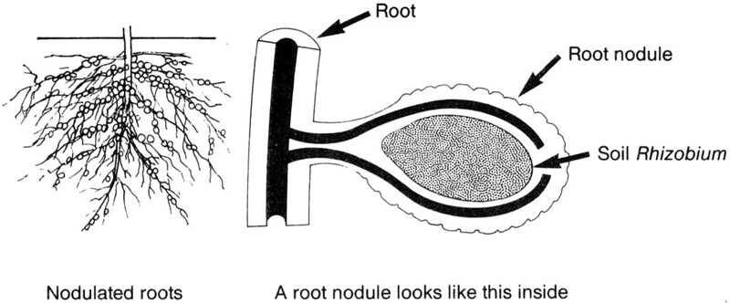 Key Difference - Bradyrhizobium vs Rhizobium