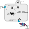 Difference Between Denaturation and Degradation of Protein