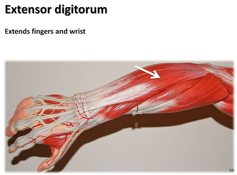 Key Difference - Flexor vs Extensor Muscles