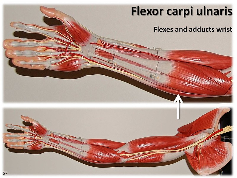 Difference Between Flexor and Extensor Muscles