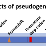 Difference Between Pseudogene and Gene