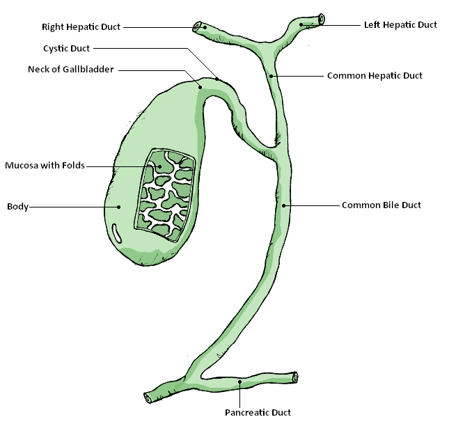 Gallbladder Diagram